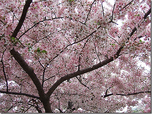 cherry blossoms 001