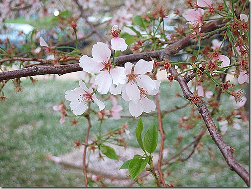 cherry blossoms 003